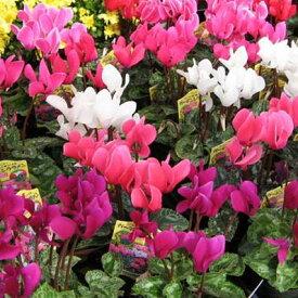 ガーデンシクラメン4株セット♪コンテナガーデンやプランター等によく合う花です【鉢花】/販売/通販/種類