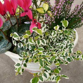 プミラ サニーホワイト リーフプランツ 白の斑入りが綺麗なプミラ