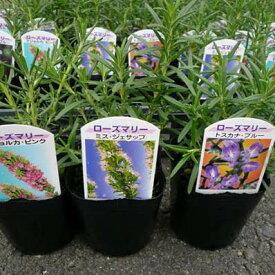 ローズマリー 3株セット Herb ハーブ料理にもガーデニングにも楽しめます。大きく育つと花も楽しめる丈夫な植物です。花苗 キッチンガーデン はーぶ 販売 通販 種類【ラッキーシール対応】