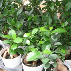 ミニニンジンガジュマル 3号 鉢植え 観葉植物 ニンジンに似た株元が面白く丈夫で育てやすい ガジュマル 観葉植物 販売 通販 種類【ラッキーシール対応】