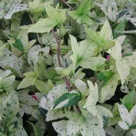 ヘデラ 白雪姫 白い葉が魅力 リーフプランツ 花苗 販売 通販 種類