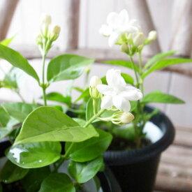 アラビアン ジャスミン 4号サイズ 鉢植え 鉢花 ジャスミン じゃすみん ホワイト 花は初夏から秋にかけて何回も楽しめるアラビアンジャスミン 白 ガーデニング