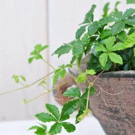 パーセノシッサス シュガーバイン 観葉植物 パーセノシッサス【ラッキーシール対応】