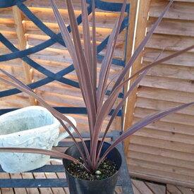 コルジリネ オーストラリス4号鉢植え 観葉植物 コルジリネ コルディリネ 販売 通販 種類 レッド 赤