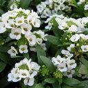スウィートアリッサム4株 甘い香のお花 長い期間楽しめる花苗 販売 通販 種類