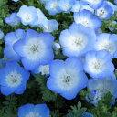 ネモフィラ ブルー苗3株 素敵な水色 ガーデニング 苗 水色の花 青【ラッキーシール対応】
