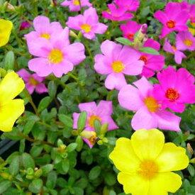 ポーチュラカ 6株セット 花苗 夏の暑さ乾燥に強い手間いらずの花 花壇に植えると横に這うように広がり毎日色鮮やかな花を次々咲かせてくれる花 販売 通販 種類