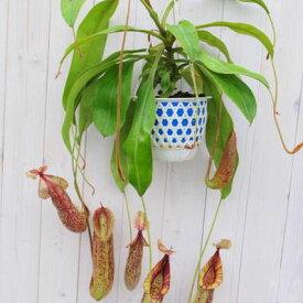 ネペンテス ダイエリアーナ 食虫植物 非常に珍しい超巨大 販売 通販 種類