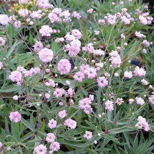 かすみ草 ピンク八重咲き カスミソウ 切花やドライフラワーに人気のピンク色のカスミ草の苗 花苗 販売 通販 種類
