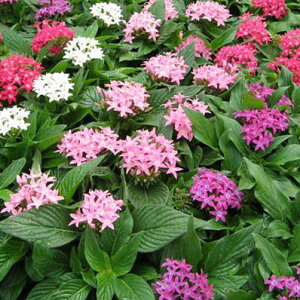 ペンタス3株セット 花苗 ペンタス 苗 夏の暑さにも強いペンタス カラフル 花 ガーデニング ホワイト ピンク レッド パープル 白 赤 紫