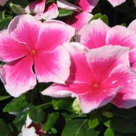ニチニチソウ 苗 ニルバーナカスケード 花苗 日々草 苗 ピンク ホワイト 白 夏の花 おしゃれ 世界初の疫病耐性ビンカで雨にも病気にも強い品種 販売 通販 種類