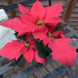 【クーポン利用で400円OFF】ポインセチア2.5号鉢植え♪可愛らしいミニチュアサイズ【鉢花】【クリスマス】【プレゼント】/販売/通販/種類【ラッキーシール対応】
