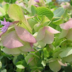 オレガノケントビューティー花芽付き オレガノ 幻想的なピンクの花で寄せ植えのワンポイントにまたハンギング等に最適 販売 通販 種類 グリーン 緑