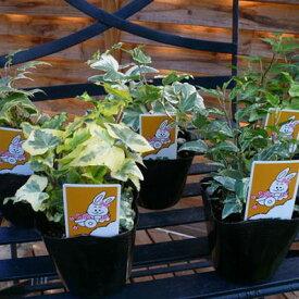 アイビー 5種類セット アイビー5株セット 丈夫で育て易い アイビー ヘデラ 苗 あいびー 植物