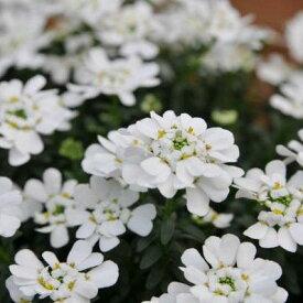 イベリス ブライダルブーケ 大株苗 純白ホワイトの花が可愛らしい【花苗】