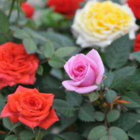 ミニバラ 薔薇 鉢植え 3.5号 販促、景品等に人気!色とりどり♪鉢花/販売/通販/種類【ラッキーシール対応】