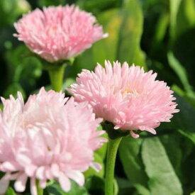 チロリアンデージーピンク 3株セット 花苗 花芽付き 優しい花色が魅力【ラッキーシール対応】