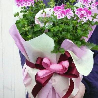 ぺラルゴニューム エンジェルアイズビオラ5号サイズ ラッピング無料!鉢花 ギフト 蝶のような可愛らしいピンクの花が魅力的 販売 通販 種類【ラッキーシール対応】