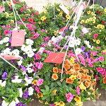 カリブラコアセレブレーションカーニバル吊鉢カラフル寄せ植え鉢花鉢植え色鮮やかで秋まで楽しめるビックな6号サイズ販売通販種類