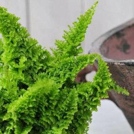 ネフロレピス スコッチー3.5号サイズ 珍しい葉型 ガーデニング 観葉植物