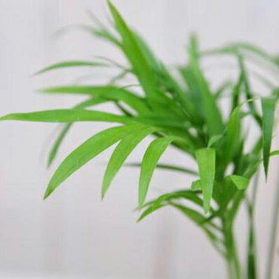 ヤシ 観葉植物 ミニチュア テーブル ヤシ 観葉植物【ラッキーシール対応】