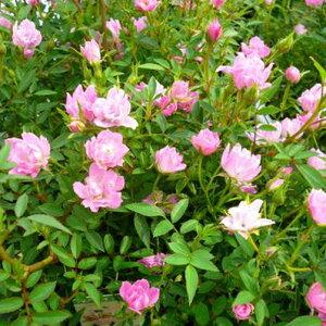 ピンクの小花が咲き乱れるミニバラ♪ミニバラ ほほえみ4号鉢植え【花苗】【ラッキーシール対応】