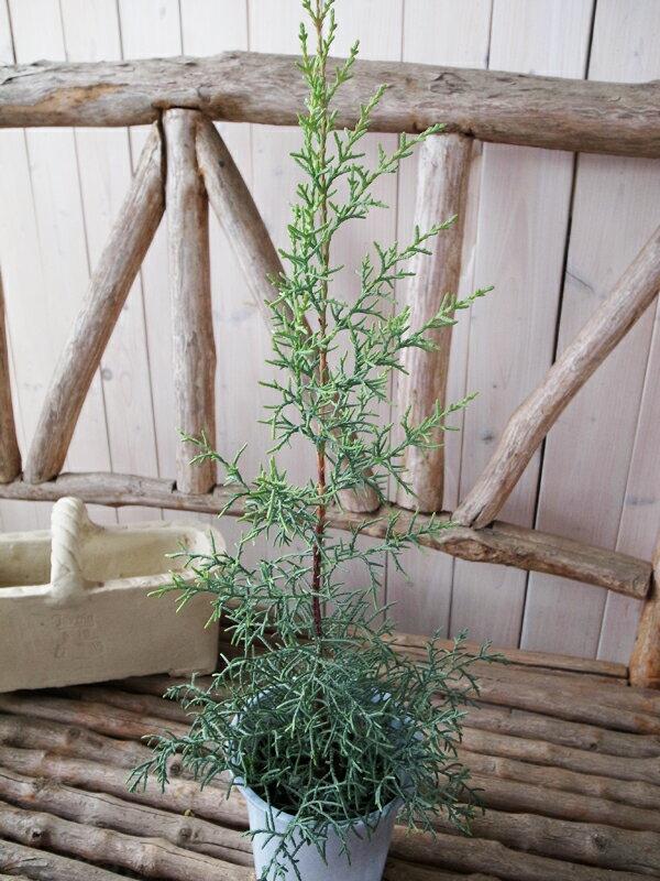コニファー 鉢植え クプレサスアリゾニカ ブルーアイス 鉢植え 高さ50cmセンチ 観葉植物