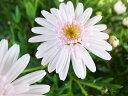 たんぽぽ マーガレット スイートピンク ホワイト