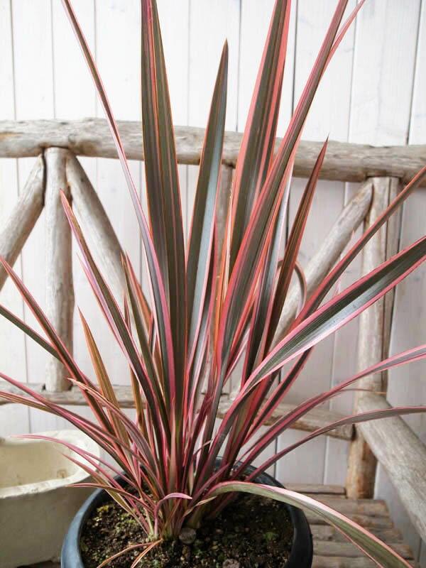 【ポイント10倍】ニューサイラン レインボークイーン 7号サイズ 観葉植物 レインボーの葉色が美しくニューサイランの中でも最も注目の品種 送料無料