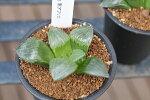 多肉植物ハオルチアレツーサ寿Haworthiaretusaタニクショクブツ販売通販多肉女子