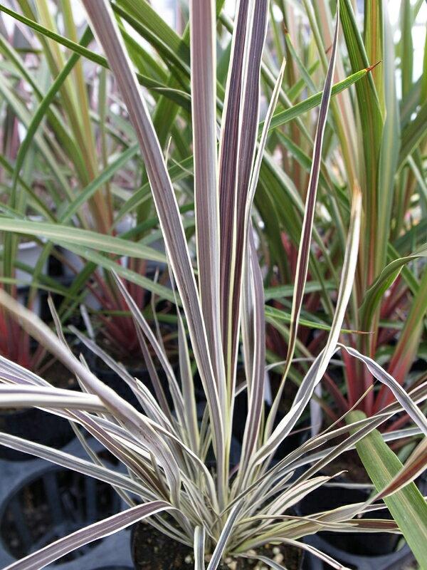 【ポイント10倍】最新品種 コルジリネ エレクトリックフラッシュ 苗 コルジュリネ 高さ30cm 観葉植物