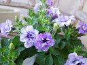 ペチュニア サマーパープル 苗 花芽付 八重咲きのペチュニア 楽天