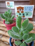 多肉植物熊童子コチレドン2.5号鉢タニクショクブツ楽天