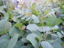 ユーカリ ポプルネア ポポラス 3号 苗 ハート形の葉が特徴 シンボルツリーに最適 グリーン 楽天