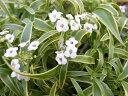 斑入りスーパーアリッサム フロスティナイト 苗 花芽付 ポット苗 長い期間楽しめる花