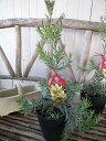 リューカデンドロン ジプシー シルバー 5号鉢 シルバーリーフが魅力の植物 大きく育つとクリーミーイエローの幻想的な松ぼっくりのような花