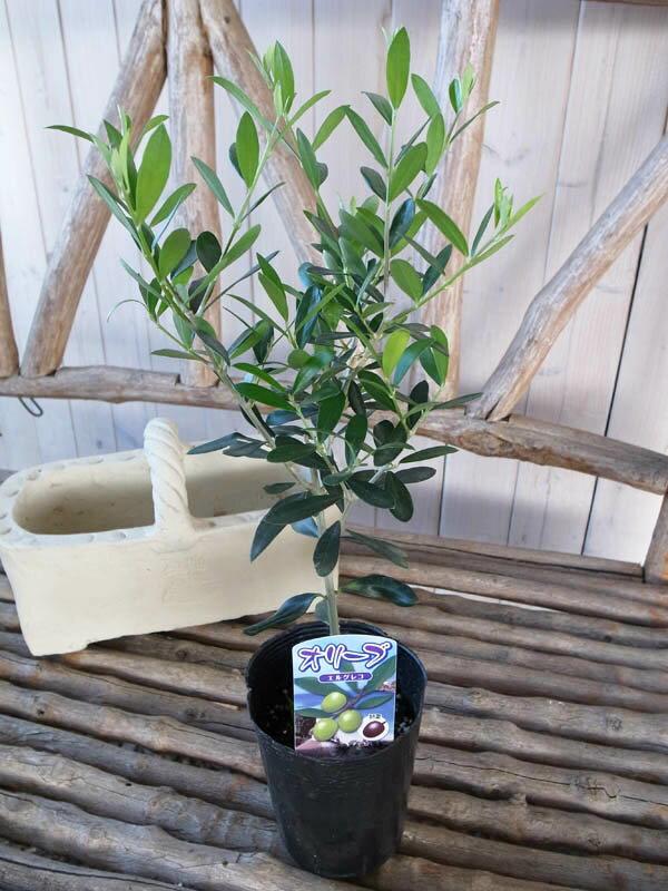 オリーブ エルグレコ 大苗 苗木 丈夫で育てやすくシンボルツリー 観葉植物 高さ40cm