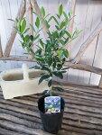 オリーブエルグレコ大苗丈夫で育てやすくシンボルツリー観葉植物高さ40cm