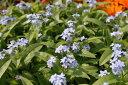 忘れな草 モナミブルー苗 ワスレナグサ 耐寒性多年草 ブルーの小花が寄せ植えに ガーデニング 花 フラワー 販売 通販 …