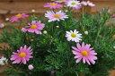 マーガレット スラッシュピンク苗♪白からピンクへと変わる花 常緑多年草 花芽付き 販売 通販 種類