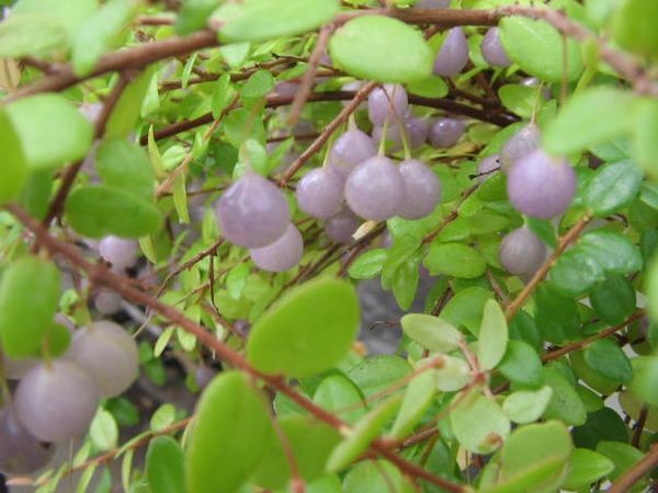 真珠コケモモ 珍植物!宝石のなる木 ガーデニング 花苗 販売 通販 種類