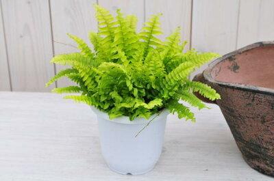 ツデー4号サイズ鉢植え浴室に鮮やかなグリーンガーデニング観葉植物販売通販種類【ラッキーシール対応】
