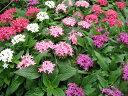 ペンタス3株セット 花苗 ペンタス 苗 夏の暑さにも強いペンタス カラフル 花 ガーデニング