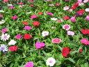 ポイント テルスター 四季咲き プランター