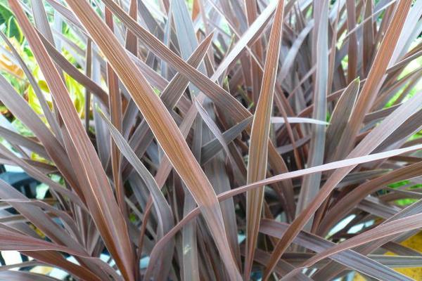 コルジリネ レッドスター 観葉植物 リーフプランツ コルディリネ 販売 通販 種類