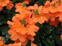 クロサンドラ オレンジ 花苗 色鮮やかなクロサンドラ 花芽付きクロサンドラ