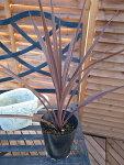 コルジリネオーストラリス4号鉢植え観葉植物コルジリネコルディリネ販売通販種類