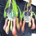 ネペンテスアラータ 食虫植物 ネペンテス