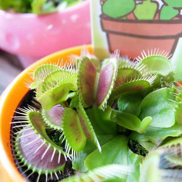 野々山園芸さんの食虫植物♪ハエトリソウ3号サイズ 鉢植え【ハエトリグサ】【ハエトリ草】【食虫植物】【販売】【通販】【種類】