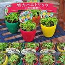 ハエトリソウ 食虫植物 ハエトリグサ